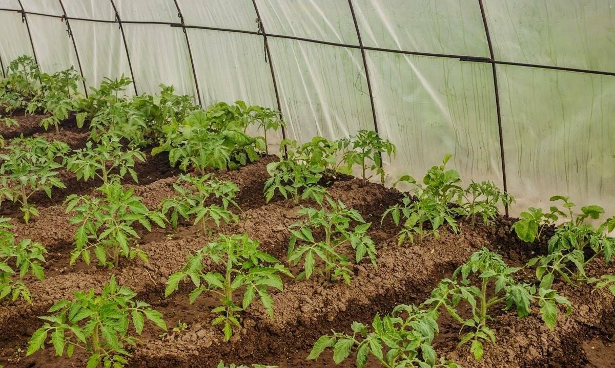 Надо ли окучивать помидоры | вырасти сад!