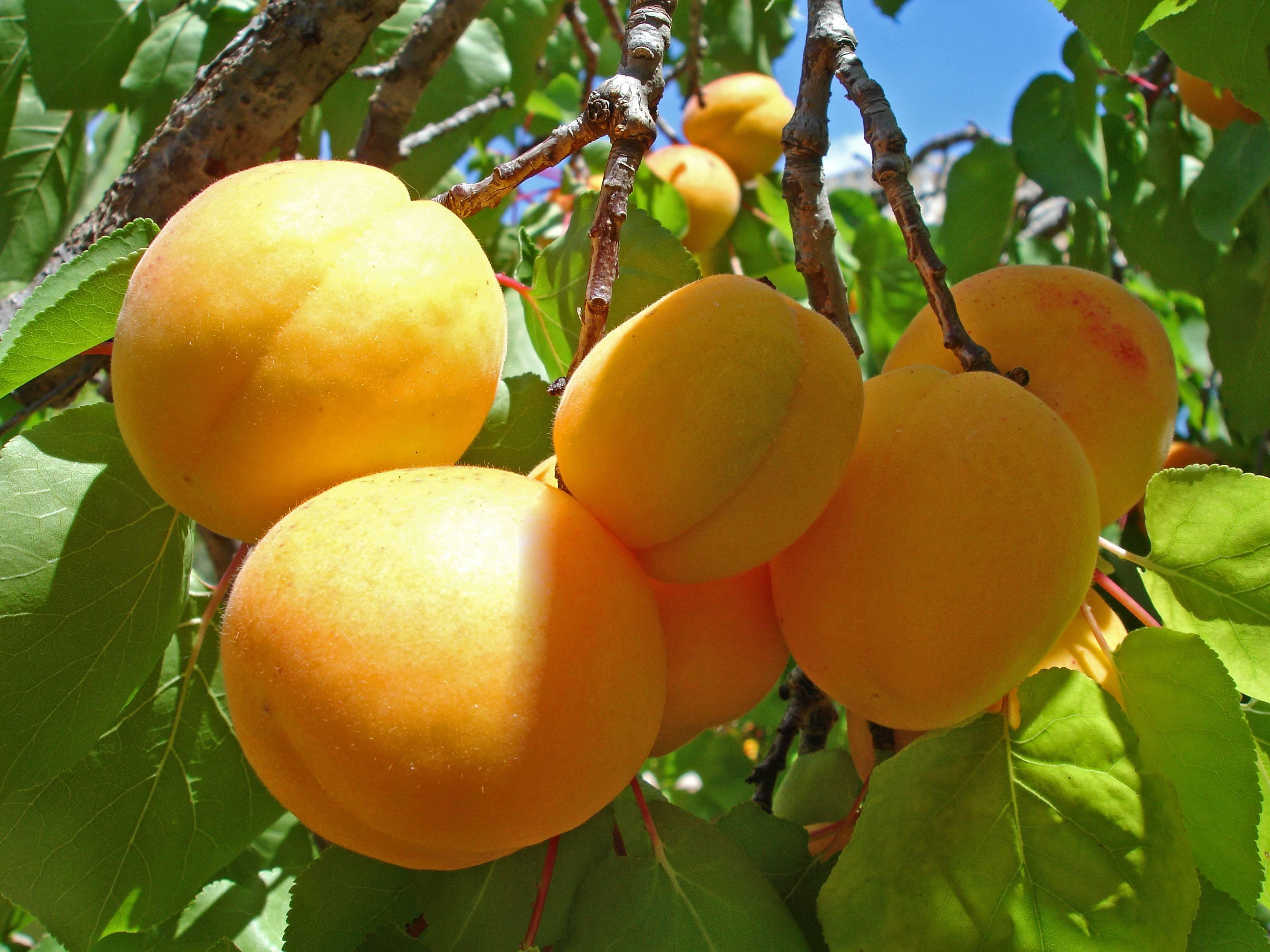 Абрикос ананасный: достоинства сорта и советы по выращиванию
