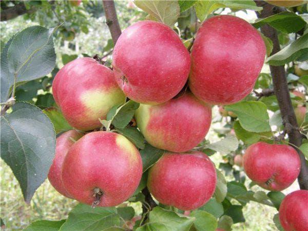 Лучшие сорта яблонь средней полосы россии: фото, описание, таблица опылителей и характеристика культур