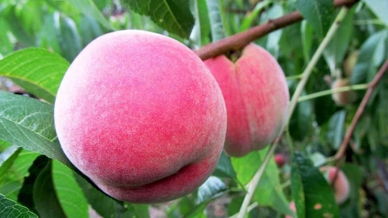 Лучшие сорта колоновидных персиков: фото с названием и описанием для всех регионов россии
