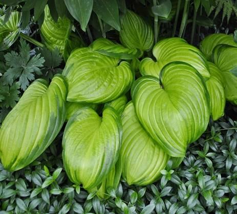 Хоста авокадо — подробное описание сорта