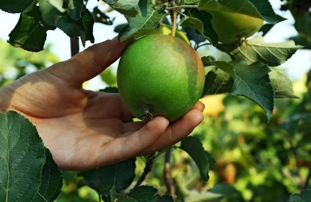 Как дозреть груши в домашних условиях, дозревают ли сорванные плоды дома, что делать, если они твердые, как сделать, чтоб груша доспела