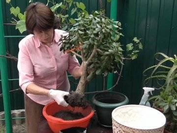Какой нужен грунт для денежного дерева? - sadovnikam.ru