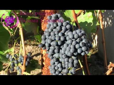 Описание сорта винограда красень: фото, видео и отзывы | vinograd-loza