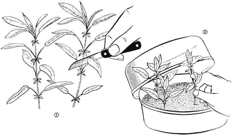 Как размножить рододендрон черенками в домашних условиях