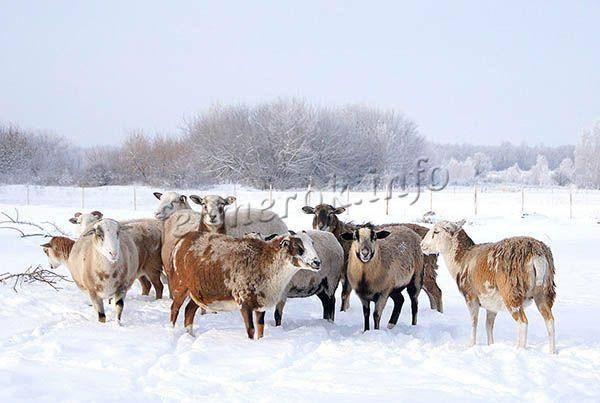 Катумские овцы - описание,продуктивность и способы разведения, разведение в домашних условиях