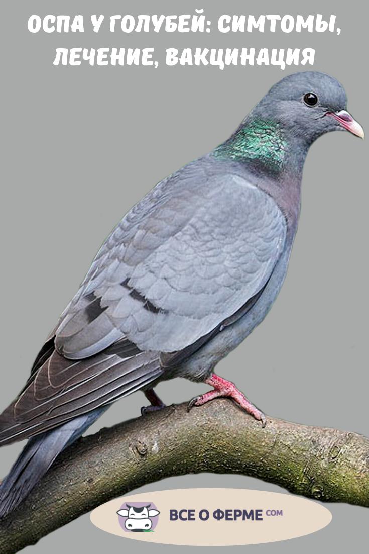 Вертячка у голубей: симптомы и лечение болезни, вакцина, видео