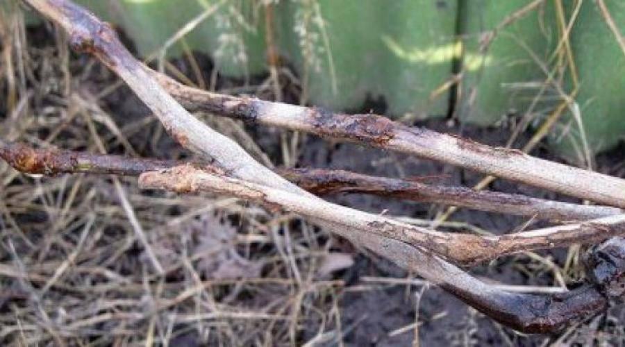 Болезни винограда – фото и чем лечить, основные грибковые, бактериальные, вирусные и неинфекционные заболевания