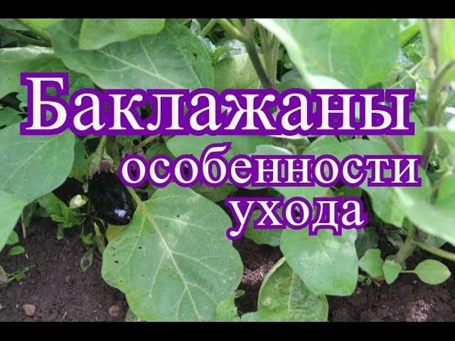 Выращивание рассады баклажанов: посев, уход, пикировка в домашних условиях