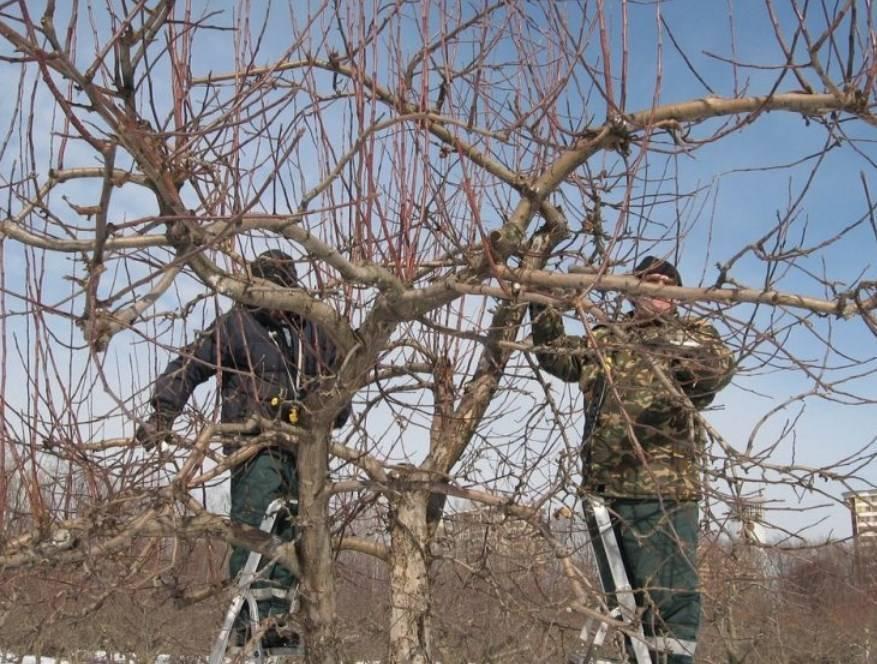 Уход за яблоней осенью: подготовка в зиме