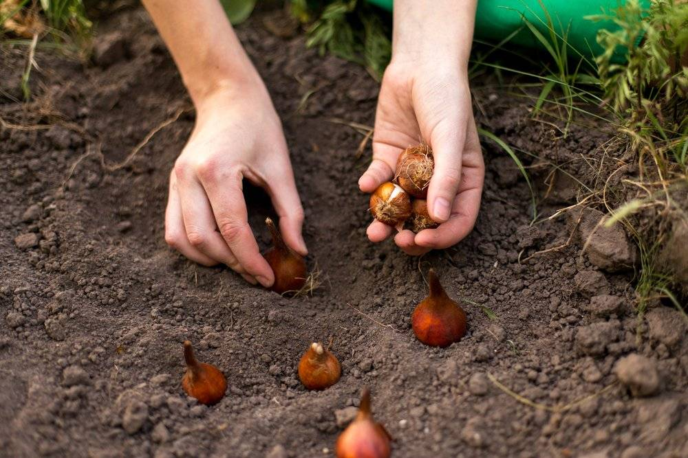Посадка тюльпанов осенью. когда и как садить. все секреты.