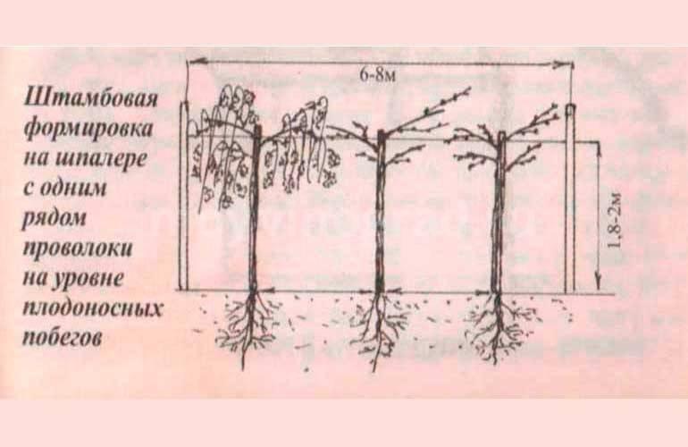 Формирование куста винограда: простая схема для новичков, видео
