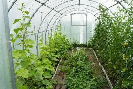 Базилик с томатами в теплице и в открытом грунте вместе: можно ли сажать помидоры рядом с пряной травой, как ухаживать и собирать урожай, а также фото растений русский фермер