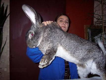 Кролики породы ризен разведение и содержание
