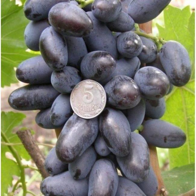 Виноград байконур: что надо знать