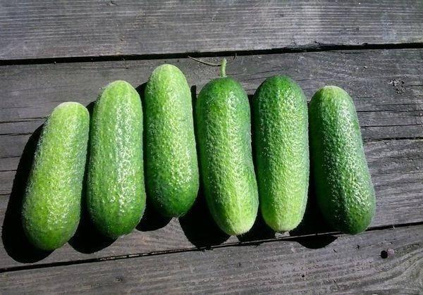 Огурцы либелла: описание сорта, сколько дают урожая, выращивание, фото