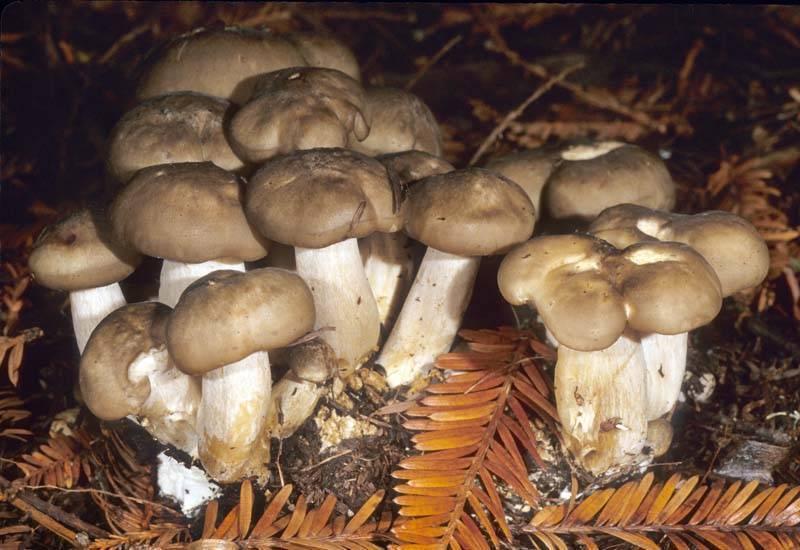 Как готовить грибы скученные рядовки: рецепты маринования, засолки и жарки в домашних условиях