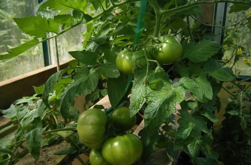 Томат биг биф - характеристика и описание сорта, фото куста, урожайность, отзывы овощеводов