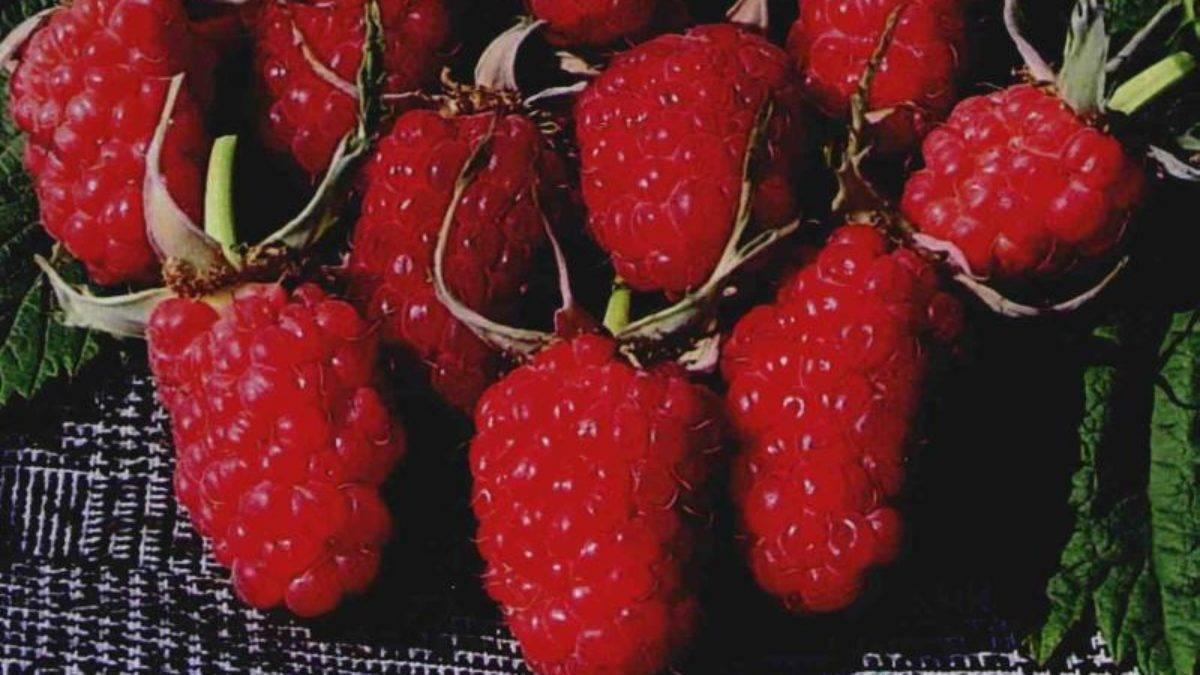 Штамбовая малина - лучшие сорта, выращивание и уход