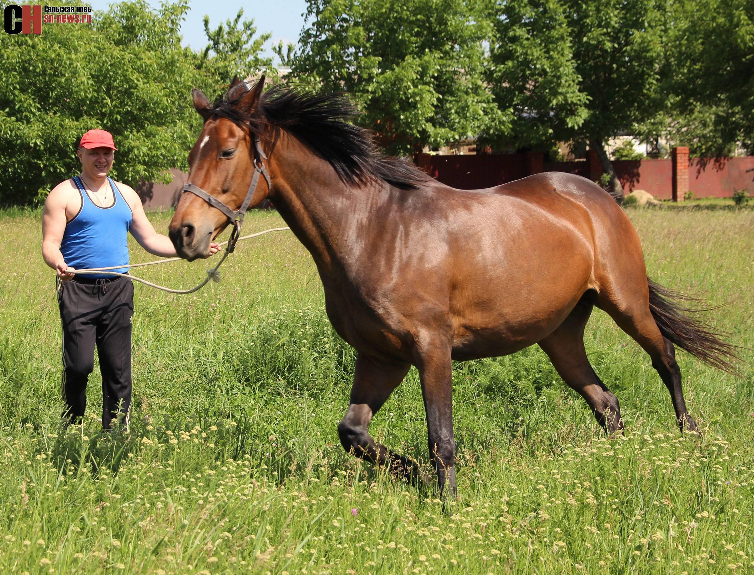Английская чистокровная верховая лошадь: описание породы и фото