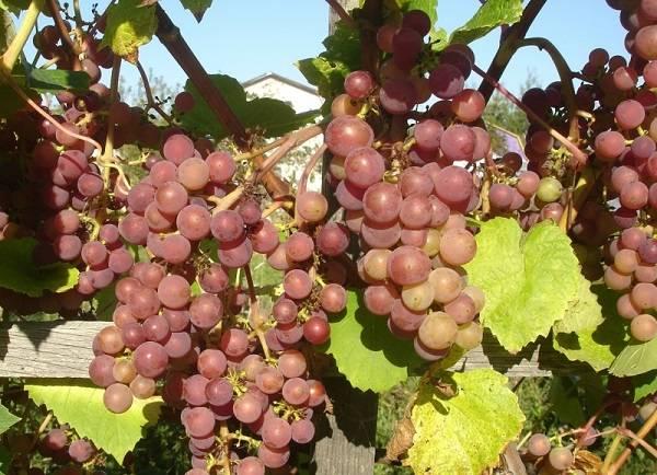 Описание сорта винограда оригинал розовый: фото и отзывы   vinograd-loza