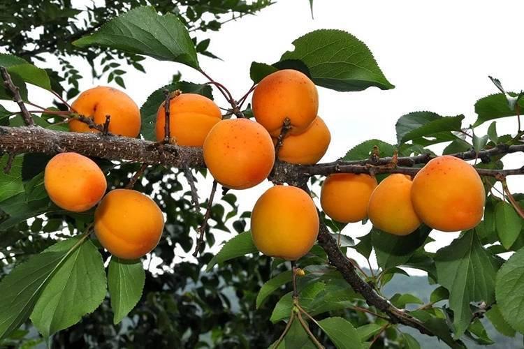 Сорт абрикоса царский: описание, фото