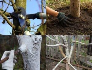 Как ухаживать за яблоней осенью и подготовка к зиме