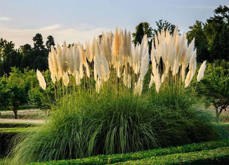 Кортадерия: фото и виды, выращивание и уход за растением