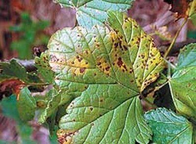 Обработка смородины осенью от болезней и вредителей