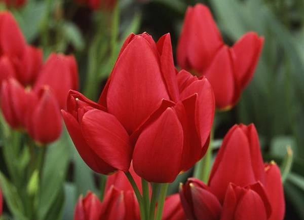 Бахромчатые тюльпаны: характеристики и лучшие сорта