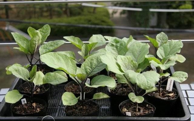 Как вырастить рассаду баклажанов? когда сеять, уход, пикировка