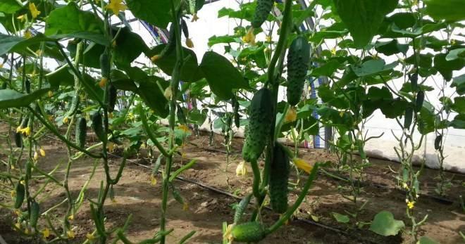 Чем подкармливать огурцы в теплице, чтобы был хороший урожай?