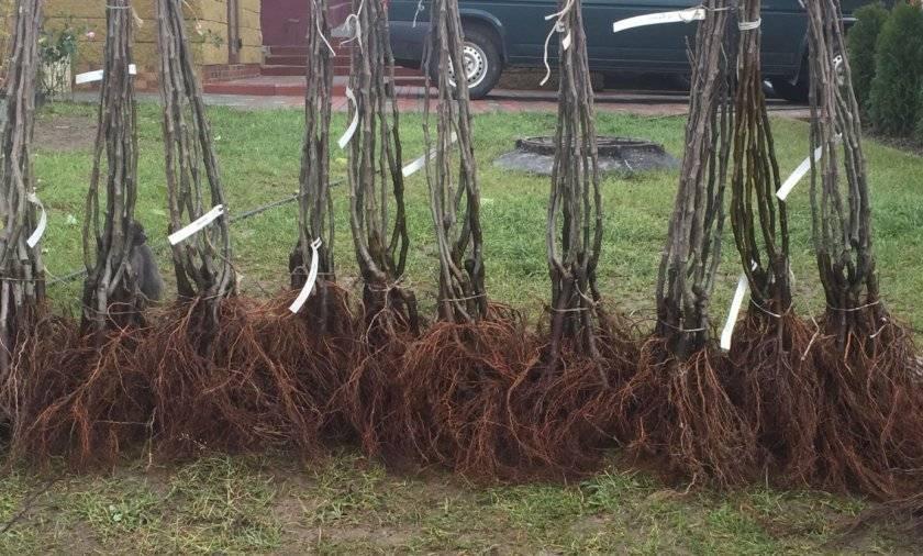 Посадка весной: как посадить грушу, пошаговое руководство
