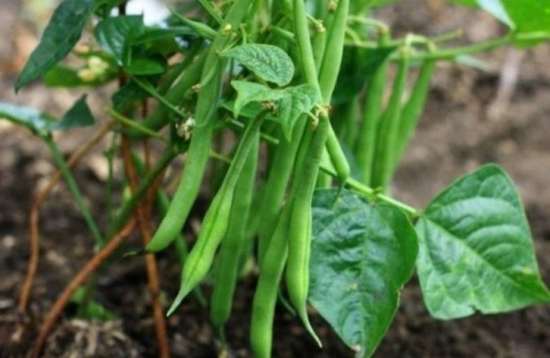 Спаржевая фасоль: как вырастить диетический продукт на даче | садоводство и огородничество