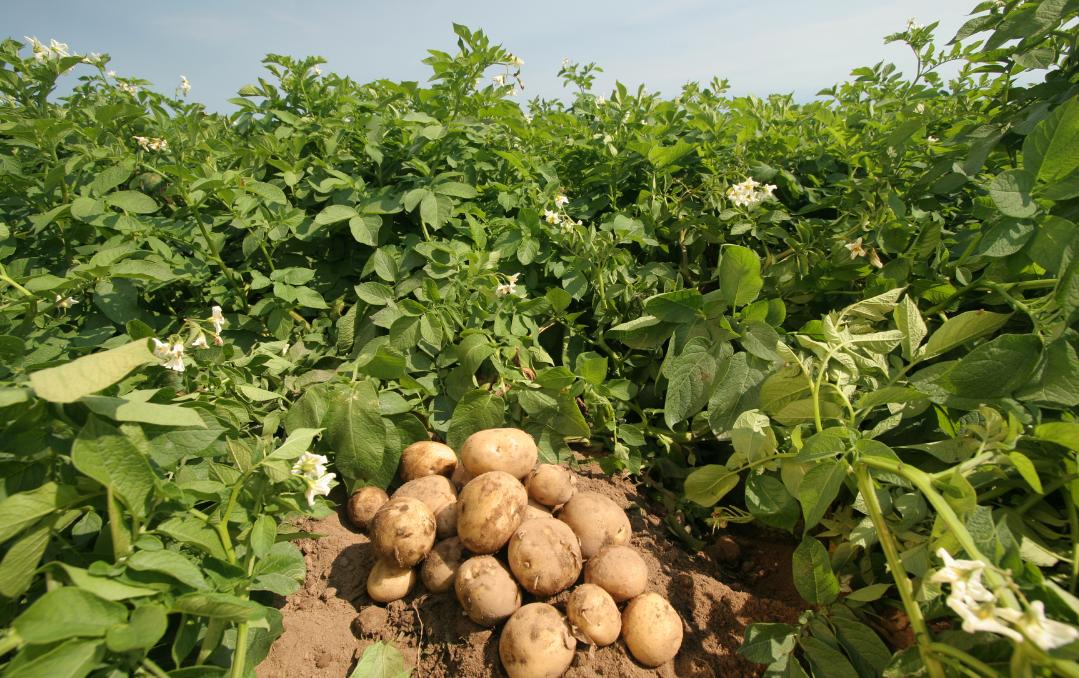 Способы посадки картофеля – 9 самых популярных методик