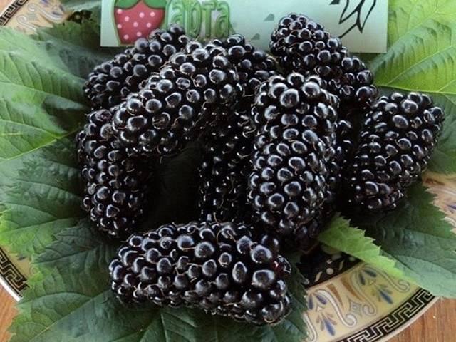 Уникальная карака блэк: крупноплодный сорт садовой ежевики