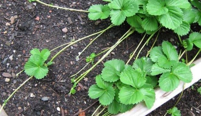 Описание и характеристики клубники сорта мурано, выращивание и размножение - всё про сады