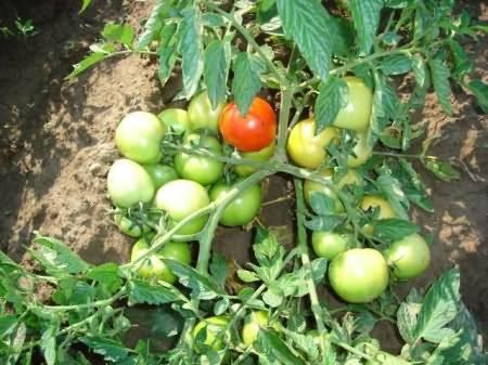 Нужно ли окучивать помидоры в теплице: как и когда правильно обрабатывать и для чего это нужно? (105 фото и видео)