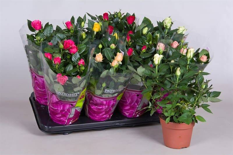 Комнатная роза (56 фото): уход за растением в горшке в домашних условиях, виды и сорта комнатных роз. как обрезать мини-розу?