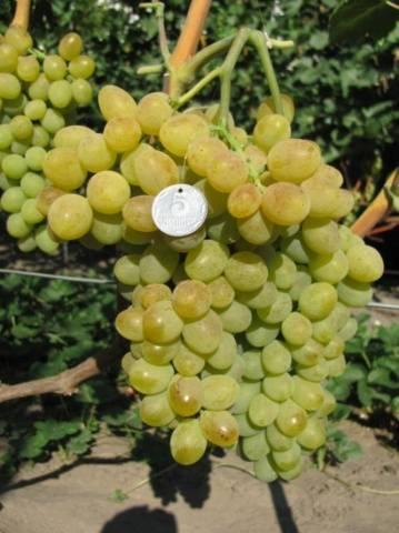 """Подробное описание винограда """"элегант сверхранний"""""""