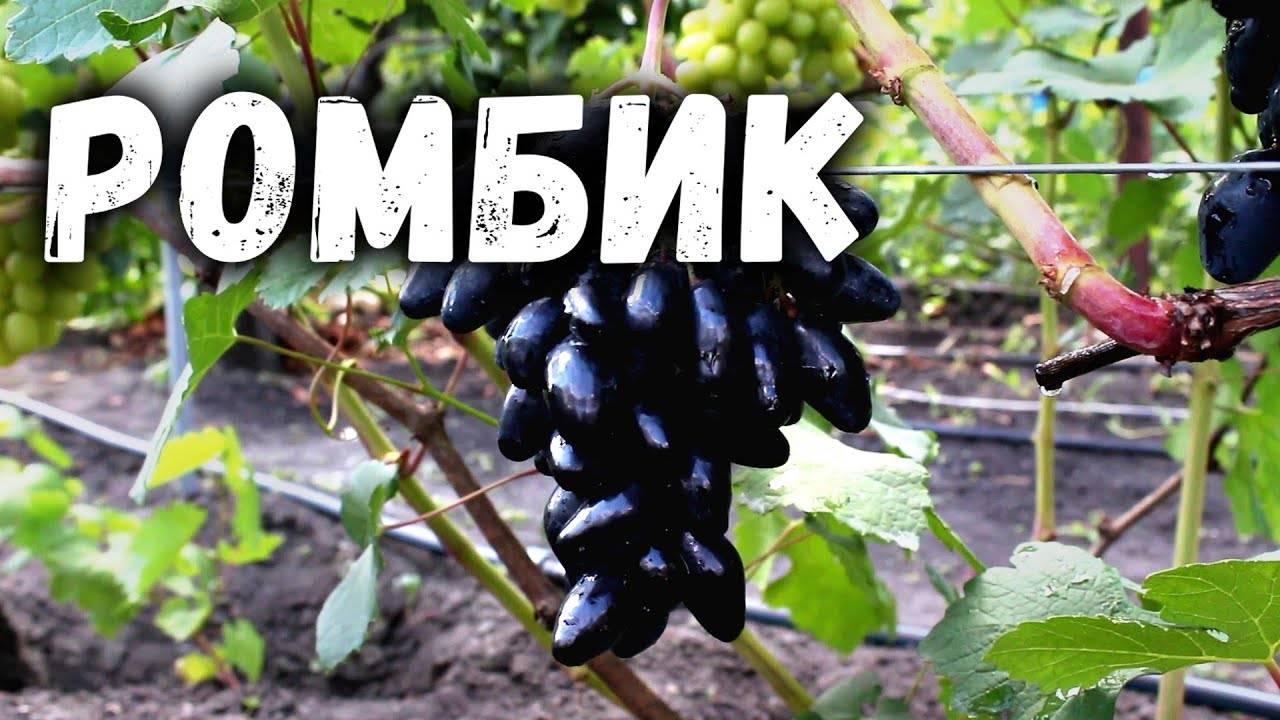 Виноград ромбик: фото, описание сорта