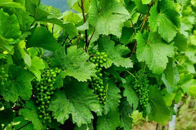 Как правильно посадить виноград в холодных регионах на supersadovnik.ru
