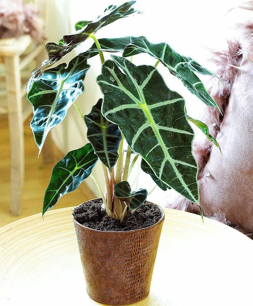 Алоказия (100+ фото): посадка и полив, выращивание дома, корм