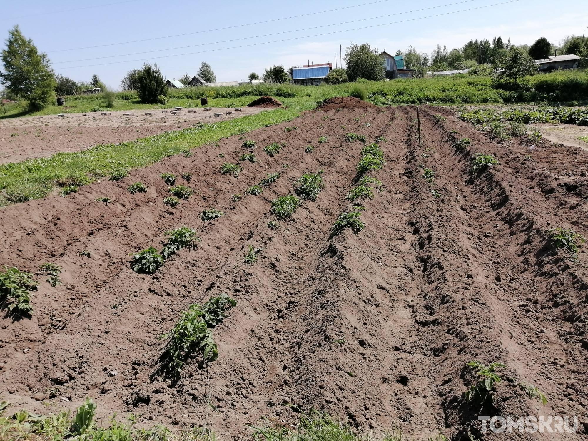 Как окучивать картошку вручную правильно: пошаговая инструкция традиционного, веерного способа и по замяткину, а также когда это лучше делать русский фермер