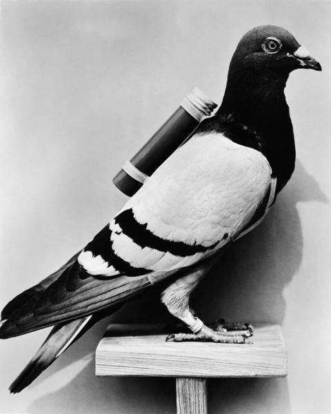 Почтовые голуби (22 фото): откуда они знают, куда нужно лететь? как определяют адресата? как работают русские породы и какая у них скорость?