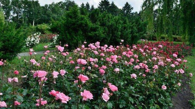 Розы: как сажать их осенью и когда лучше это делать
