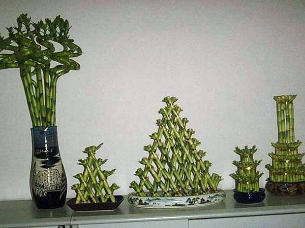 Неприхотливое растение — драцена сандера (бамбуковая спираль, сандериана)