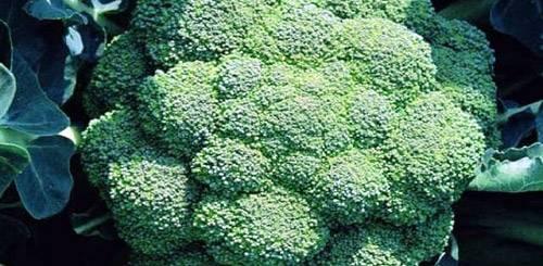 Как вырастить брокколи на огороде - пошаговая инструкция! - огород, сад, балкон - медиаплатформа миртесен