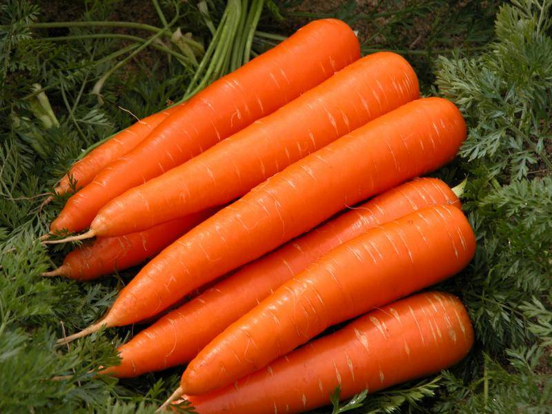 Морковь королева осени: описание, посадка, уход