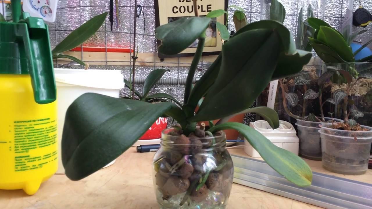 Экспериментальное выращивание орхидеи в закрытой системе